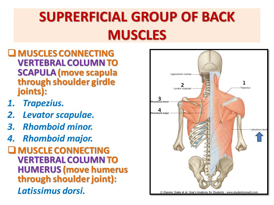 SUPRERFICIAL GROUP OF BACK MUSCLES  MUSCLES CONNECTING VERTEBRAL COLUMN TO SCAPULA (move scapula through shoulder girdle joints): 1.Trapezius. 2.Leva