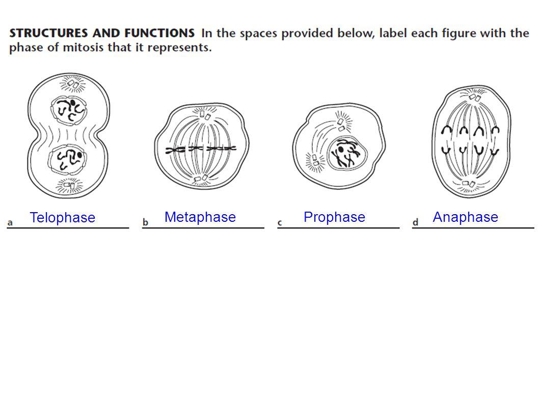 ProphaseMetaphaseAnaphase Telophase