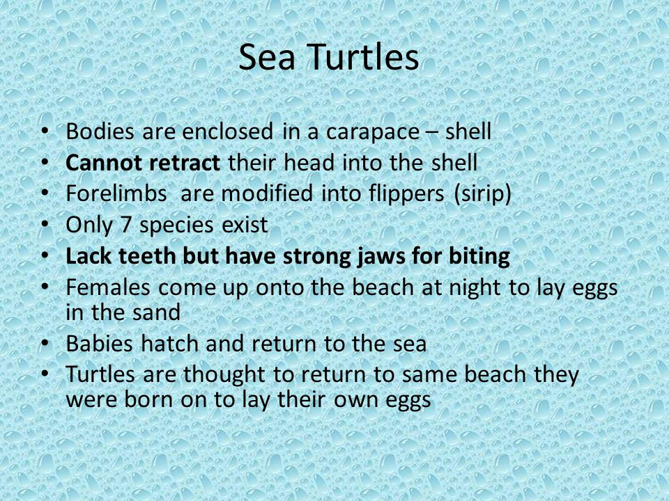 Sea Turtles Bodies are enclosed in a carapace – shell Cannot retract their head into the shell Forelimbs are modified into flippers (sirip) Only 7 spe