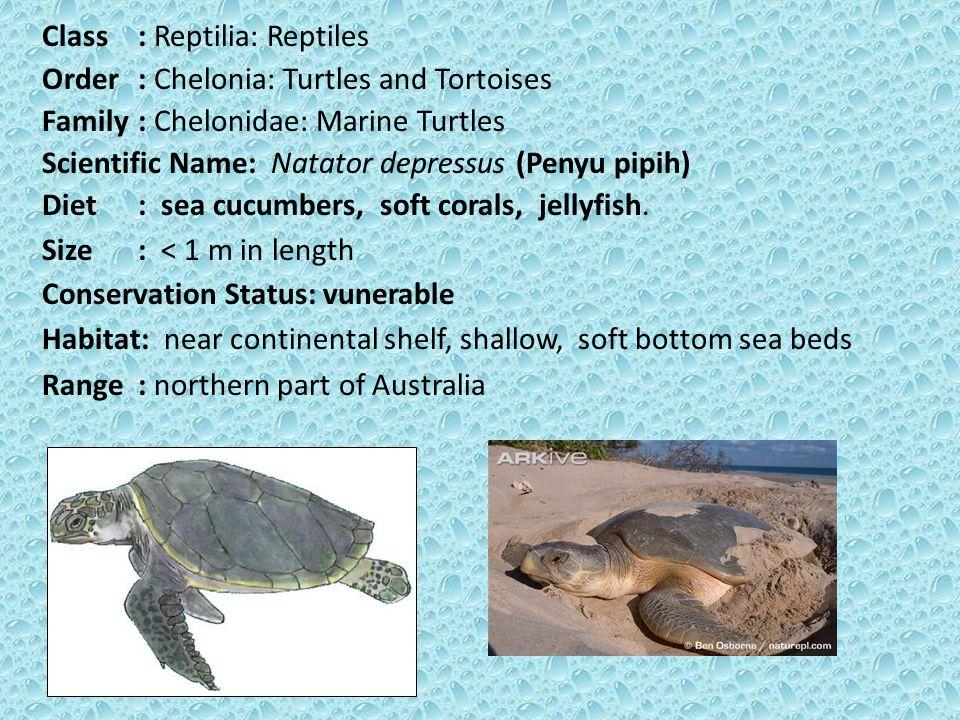 Class: Reptilia: Reptiles Order: Chelonia: Turtles and Tortoises Family: Chelonidae: Marine Turtles Scientific Name: Natator depressus (Penyu pipih) Diet: sea cucumbers, soft corals, jellyfish.