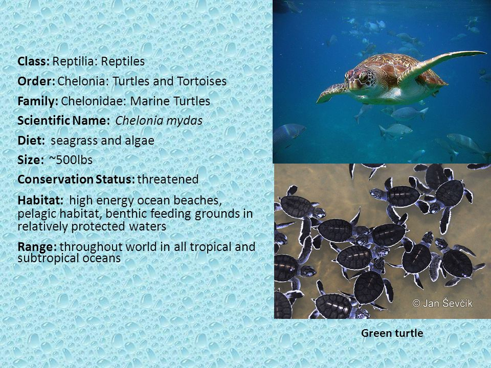 Class: Reptilia: Reptiles Order: Chelonia: Turtles and Tortoises Family: Chelonidae: Marine Turtles Scientific Name: Chelonia mydas Diet: seagrass and algae Size: ~500lbs Conservation Status: threatened Habitat: high energy ocean beaches, pelagic habitat, benthic feeding grounds in relatively protected waters Range: throughout world in all tropical and subtropical oceans Green turtle