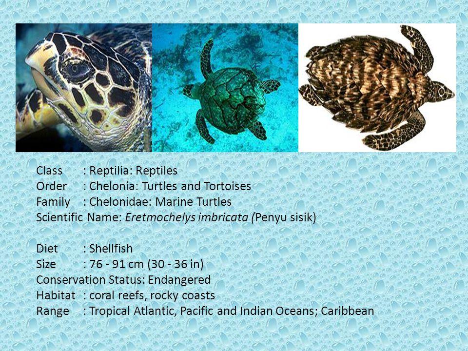Class: Reptilia: Reptiles Order: Chelonia: Turtles and Tortoises Family: Chelonidae: Marine Turtles Scientific Name: Eretmochelys imbricata (Penyu sis