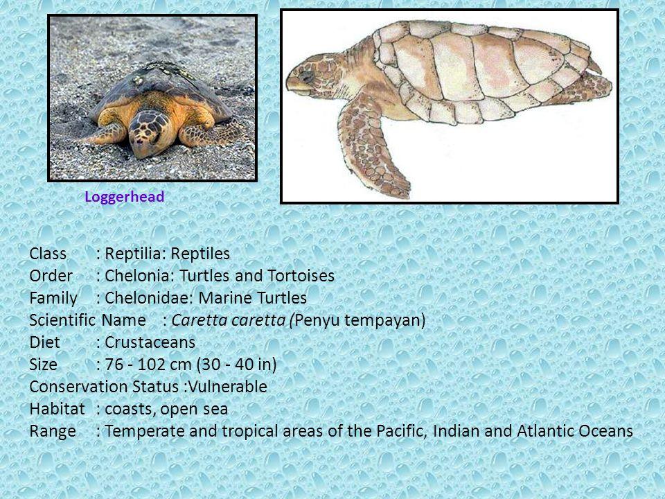 Class: Reptilia: Reptiles Order: Chelonia: Turtles and Tortoises Family: Chelonidae: Marine Turtles Scientific Name: Caretta caretta (Penyu tempayan) Diet: Crustaceans Size: 76 - 102 cm (30 - 40 in) Conservation Status :Vulnerable Habitat: coasts, open sea Range: Temperate and tropical areas of the Pacific, Indian and Atlantic Oceans Loggerhead