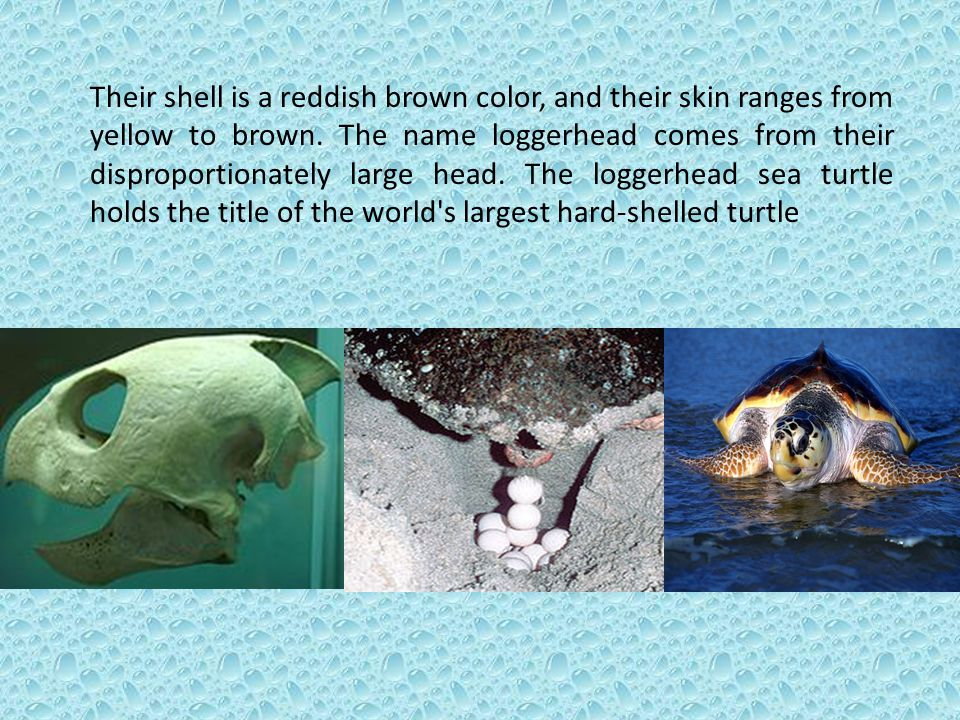 Their shell is a reddish brown color, and their skin ranges from yellow to brown.