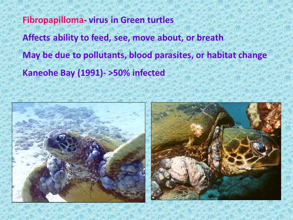 Fibropapilloma- virus in Green turtles Affects ability to feed, see, move about, or breath May be due to pollutants, blood parasites, or habitat change Kaneohe Bay (1991)- >50% infected