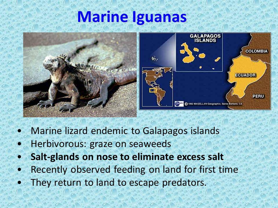 Marine Iguanas Marine lizard endemic to Galapagos islands Herbivorous: graze on seaweeds Salt-glands on nose to eliminate excess salt Recently observe