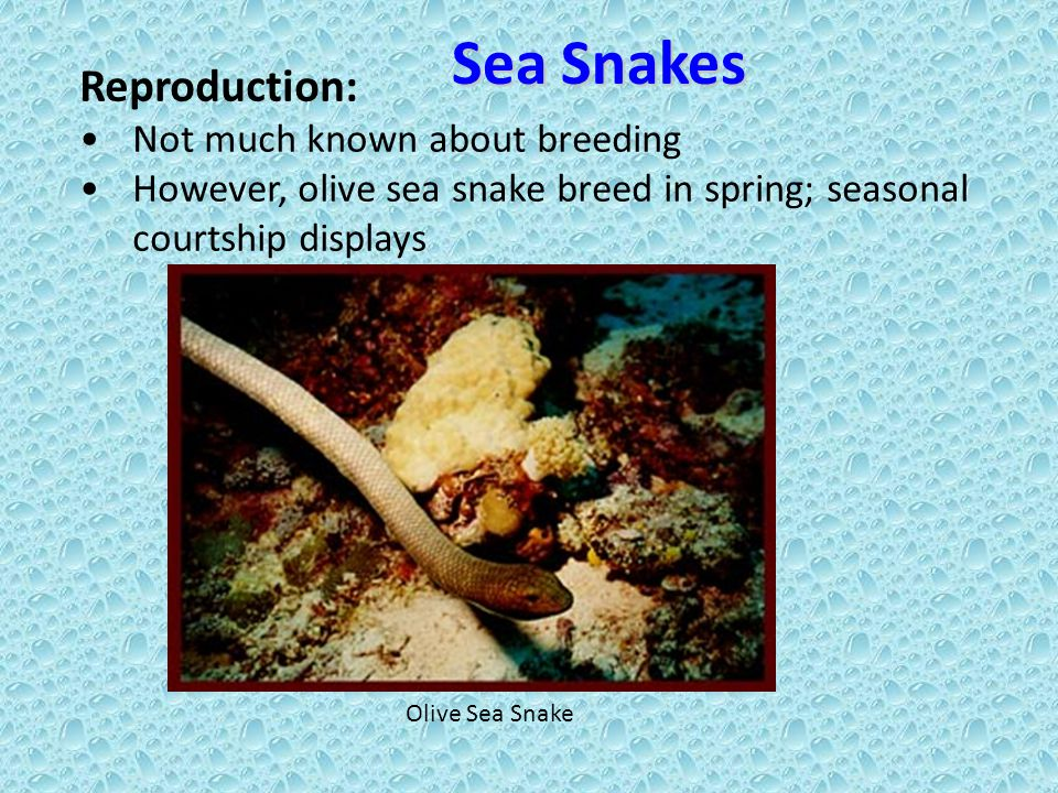 Reproduction: Not much known about breeding However, olive sea snake breed in spring; seasonal courtship displays Olive Sea Snake Sea Snakes