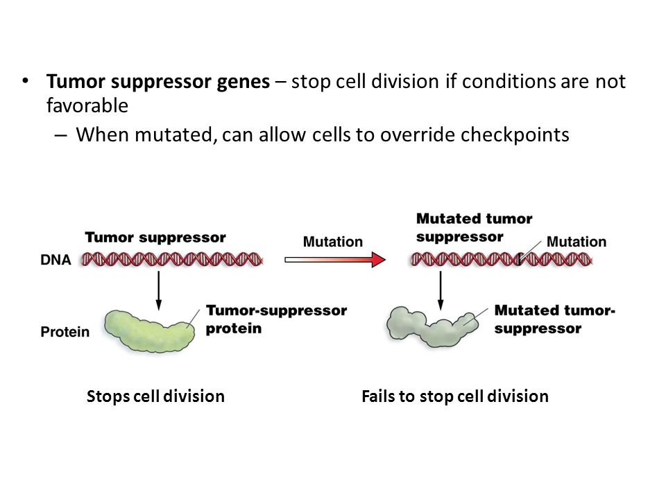 Tumor suppressor genes – stop cell division if conditions are not favorable – When mutated, can allow cells to override checkpoints Stops cell divisio