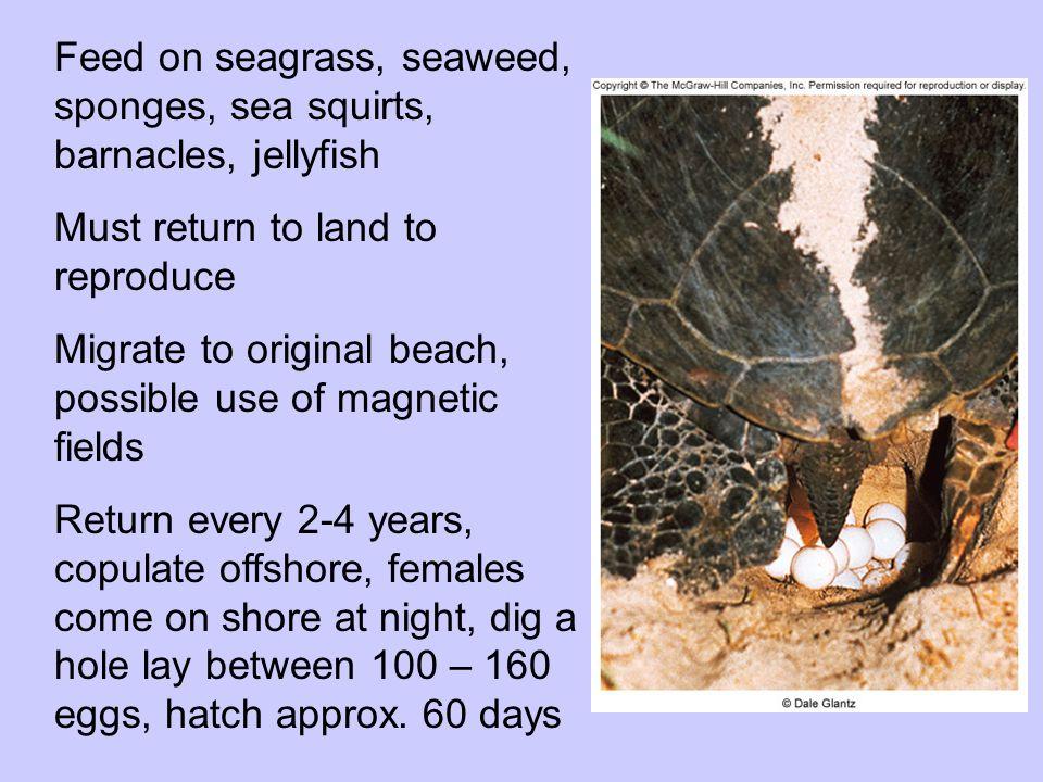 7 (8) species of Sea Turtles (all classified as threatened); Green (Chelonia mydas) Hawksbill (Eretmochelys imbricata) Leatherback (Dermochelys coriacea) D.o.d,largest turtle Kemp's Ridley (Lepidochelys kempii) Loggerhead (Caretta caretta) Flatback (Natator depressa) Black (Chelonia agassizii) Olive Ridley (Lepidochetys olivacea)