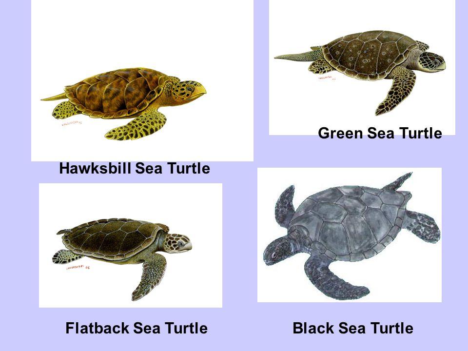 Kemps Sea Turtle Leatherback Sea Turtle Loggerhead Sea Turtle Olive Ridley