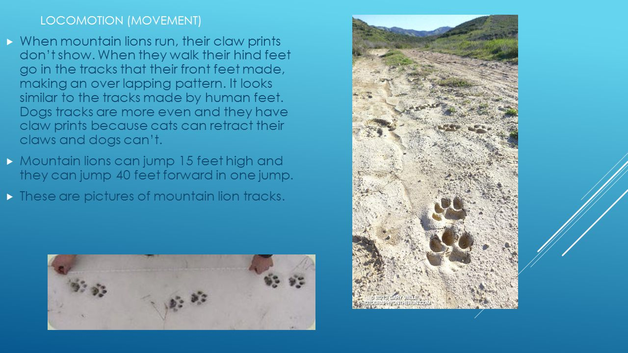  When mountain lions run, their claw prints don't show. When they walk their hind feet go in the tracks that their front feet made, making an over la