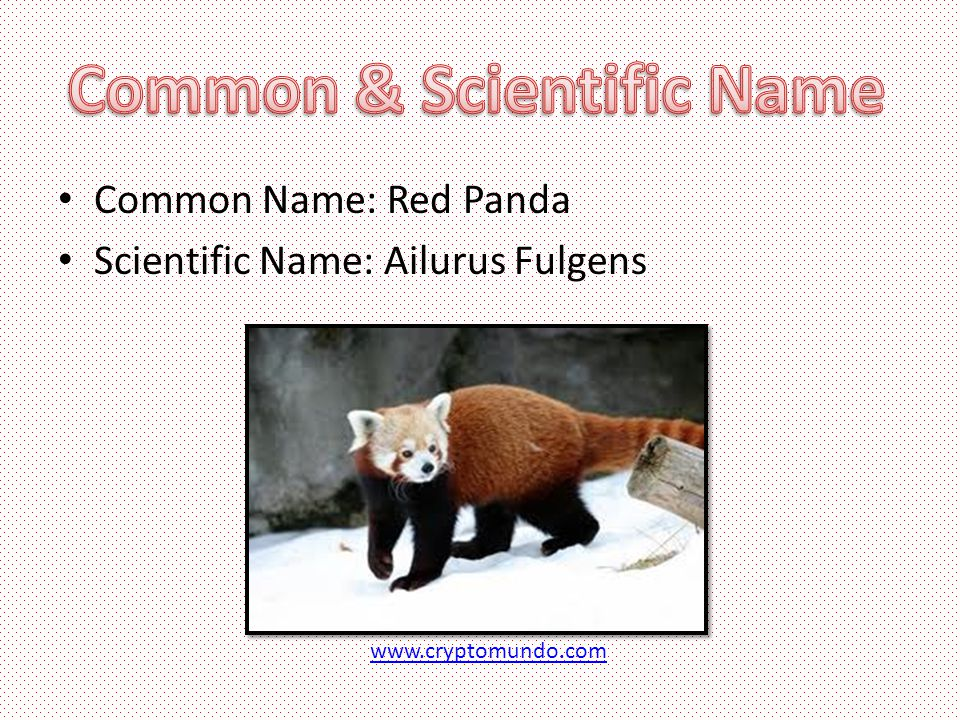 Common Name: Red Panda Scientific Name: Ailurus Fulgens www.cryptomundo.com