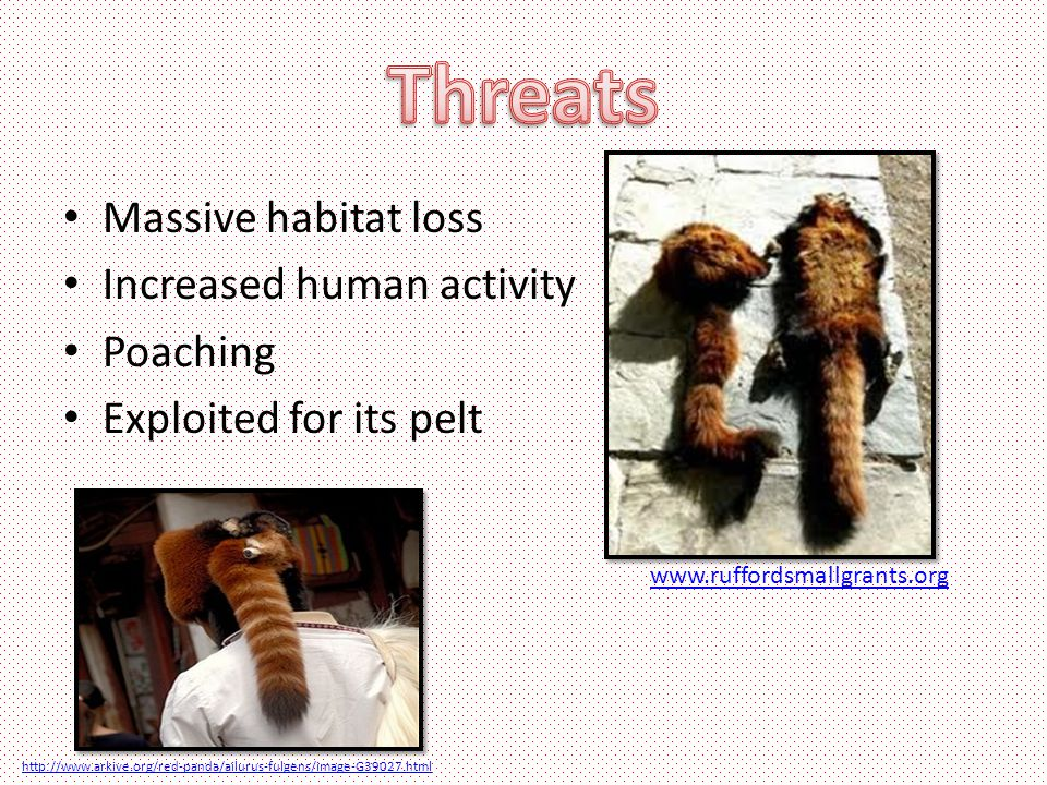 Massive habitat loss Increased human activity Poaching Exploited for its pelt www.ruffordsmallgrants.org http://www.arkive.org/red-panda/ailurus-fulgens/image-G39027.html