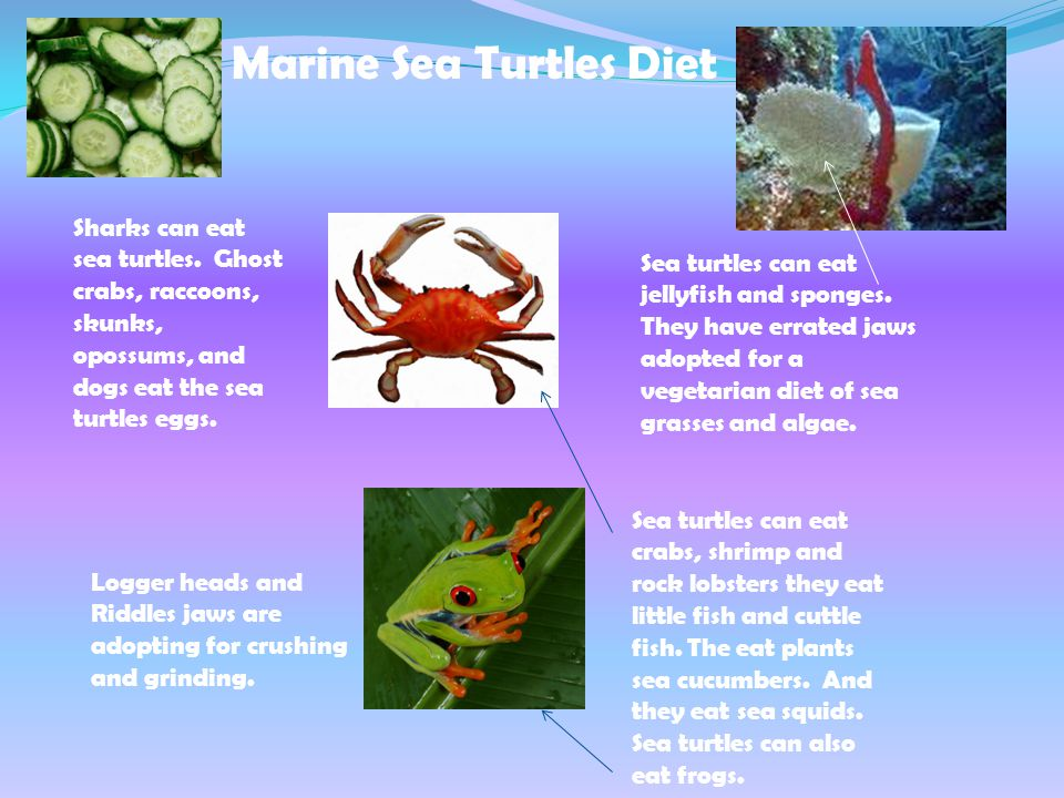 Marine Sea Turtles Diet Sharks can eat sea turtles.
