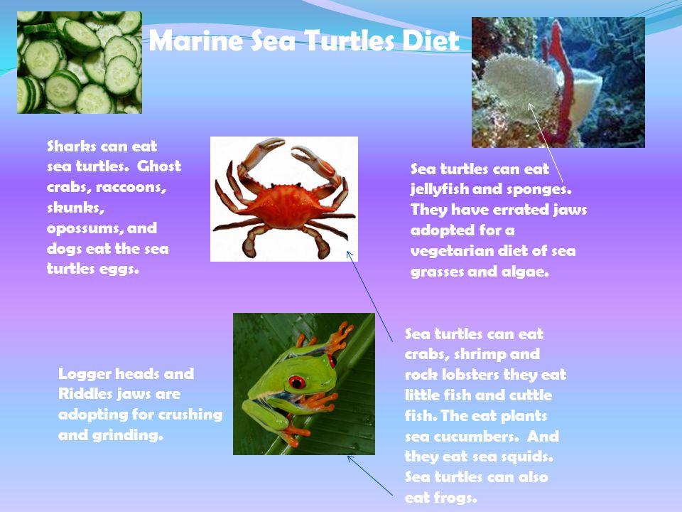 Marine Sea Turtles Diet Sharks can eat sea turtles. Ghost crabs, raccoons, skunks, opossums, and dogs eat the sea turtles eggs. Sea turtles can eat cr