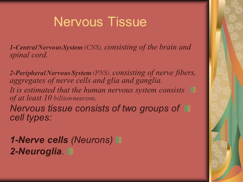 Nervous Tissue 1-Central Nervous System (CNS), consisting of the brain and spinal cord.