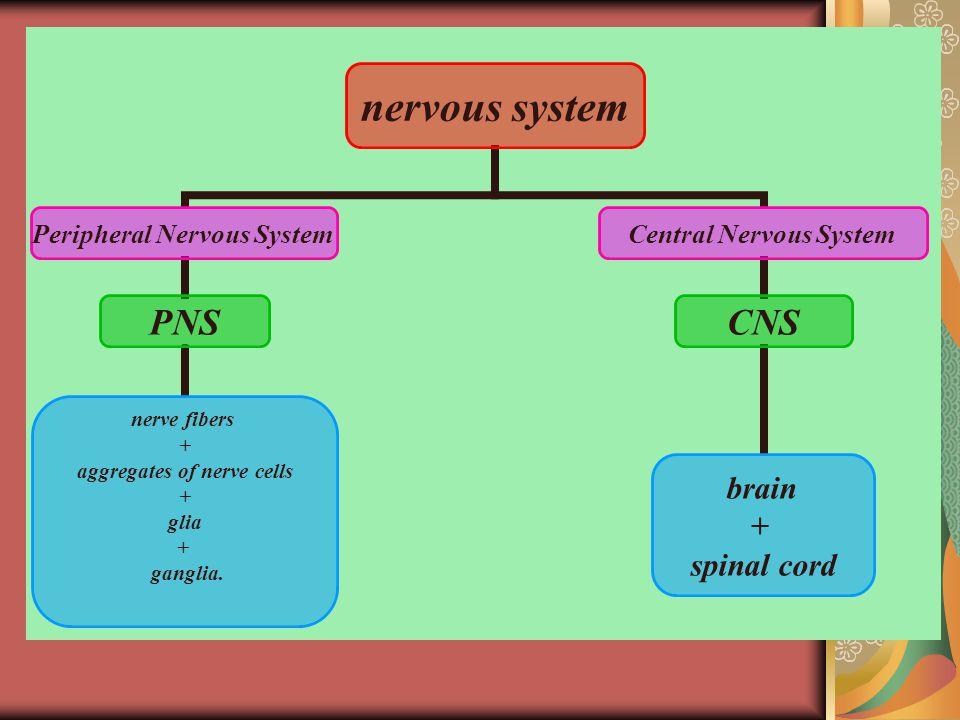 nervous system Peripheral Nervous System PNS nerve fibers + aggregates of nerve cells + glia + ganglia.