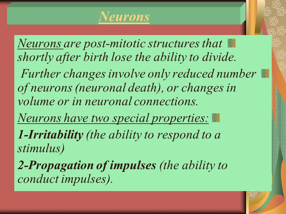 Neurons Neurons are post-mitotic structures that shortly after birth lose the ability to divide.