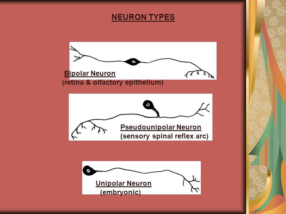 NEURON TYPES Bipolar Neuron (retina & olfactory epithelium) Pseudounipolar Neuron (sensory spinal reflex arc) Unipolar Neuron (embryonic)