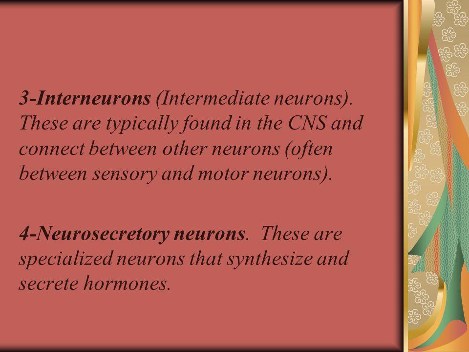 3-Interneurons (Intermediate neurons).