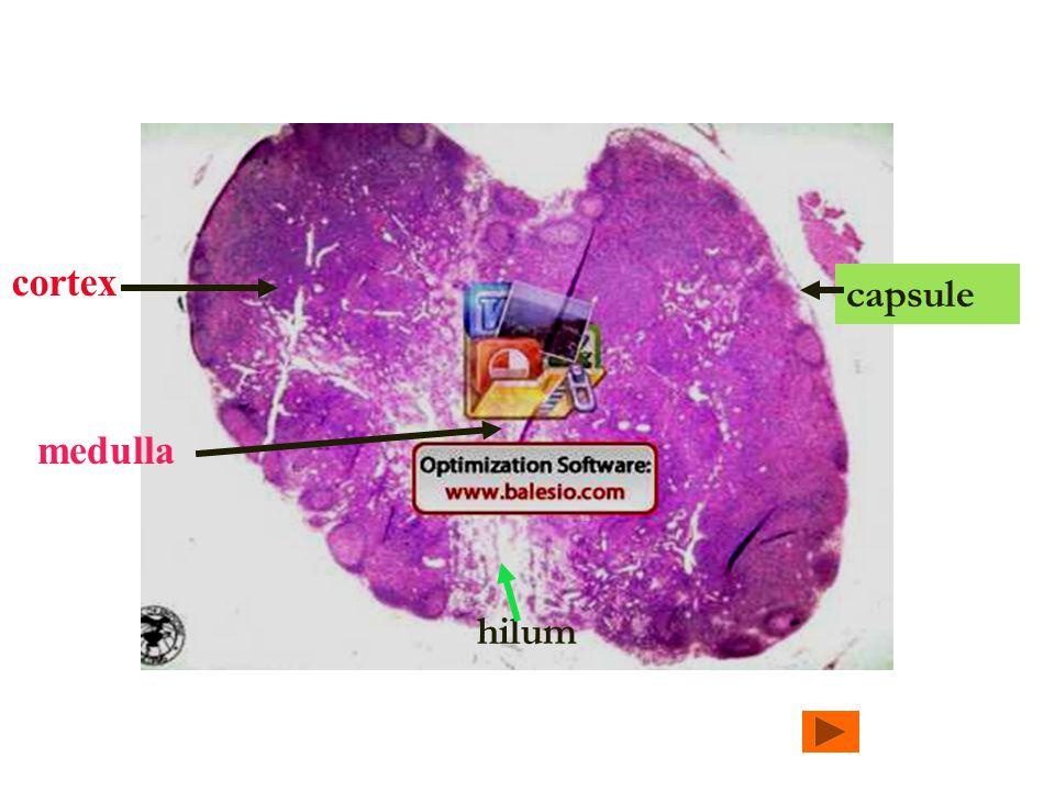 cortex hilum capsule medulla