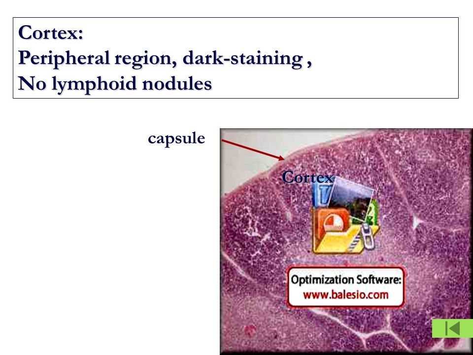 Cortex: Peripheral region, dark-staining, No lymphoid nodules Cortex capsule