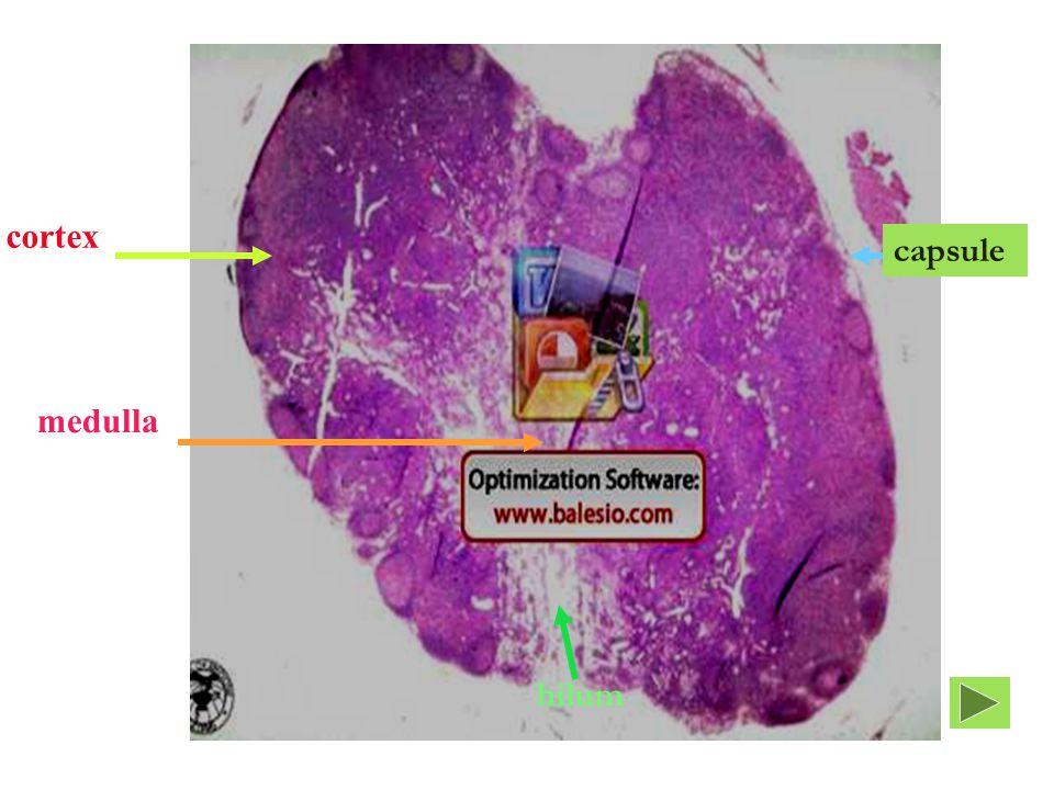cortex medulla hilum capsule