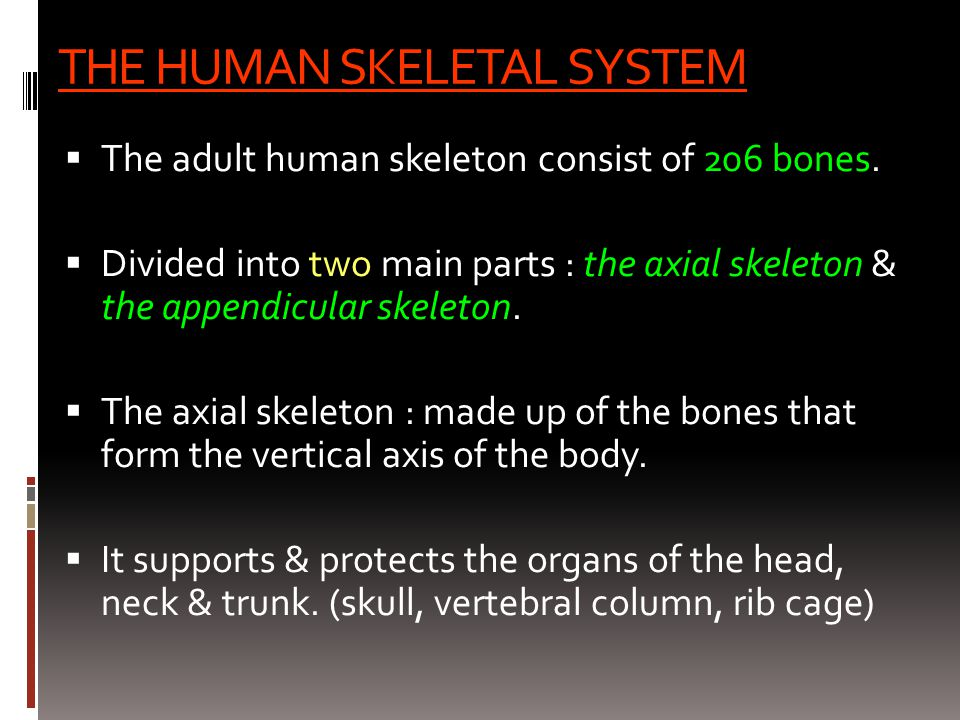 THE HUMAN SKELETAL SYSTEM  The adult human skeleton consist of 206 bones.  Divided into two main parts : the axial skeleton & the appendicular skele