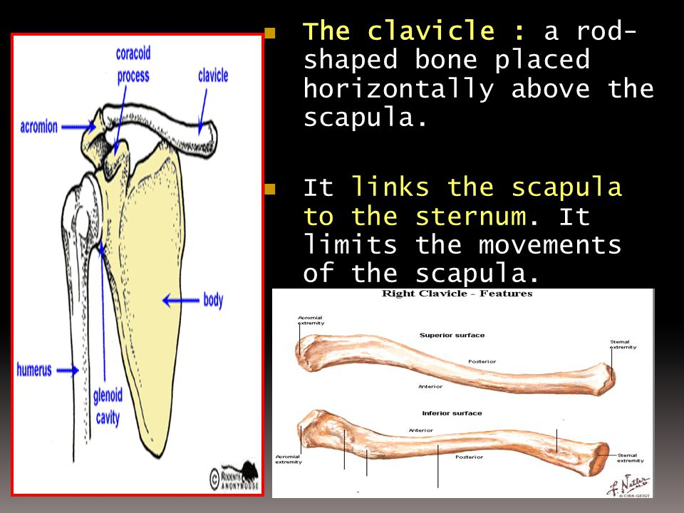 The clavicle : a rod- shaped bone placed horizontally above the scapula. The clavicle : a rod- shaped bone placed horizontally above the scapula. It l