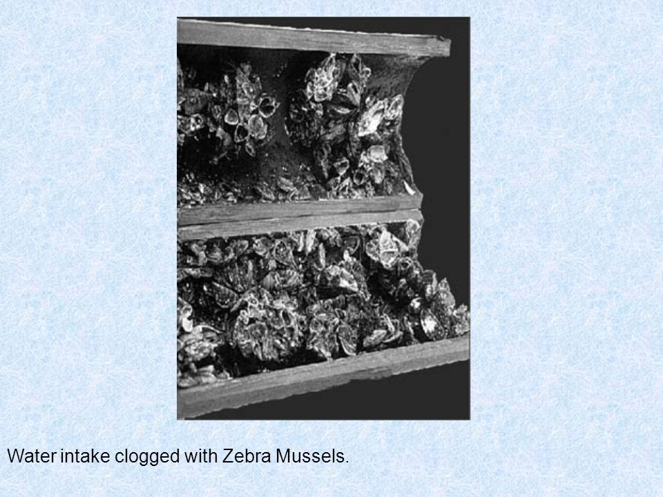 Water intake clogged with Zebra Mussels.