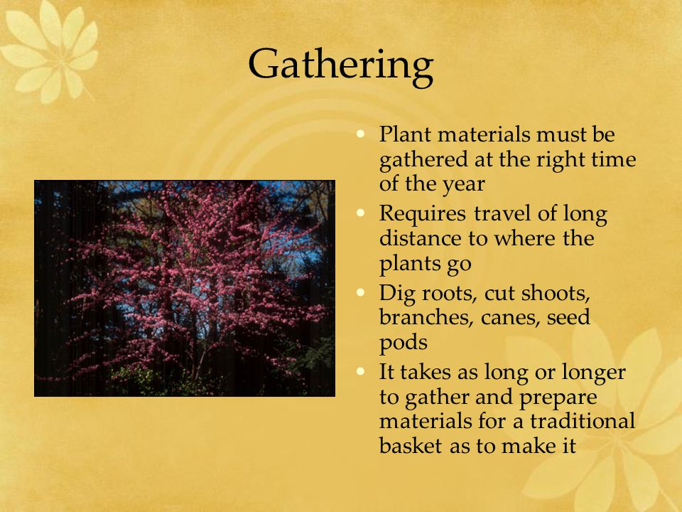 Gathering Plant materials must be gathered at the right time of the year Requires travel of long distance to where the plants go Dig roots, cut shoots, branches, canes, seed pods It takes as long or longer to gather and prepare materials for a traditional basket as to make it
