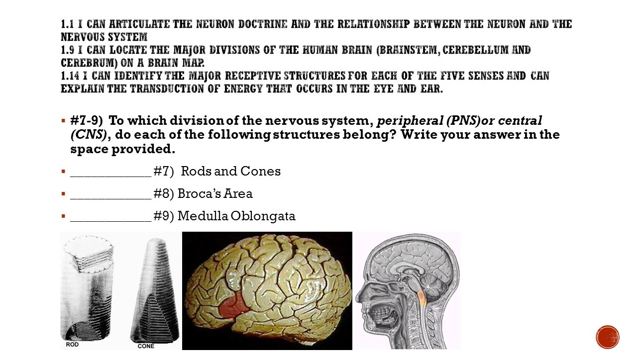  Which division of the peripheral nervous system, somatic (SoNS) or autonomic (ANS), would regulate each of the following aspects of human physiology.