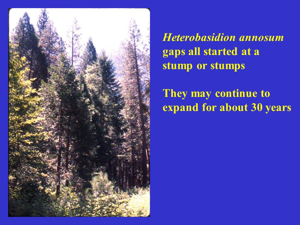 Heterobasidion annosum gaps all started at a stump or stumps They may continue to expand for about 30 years