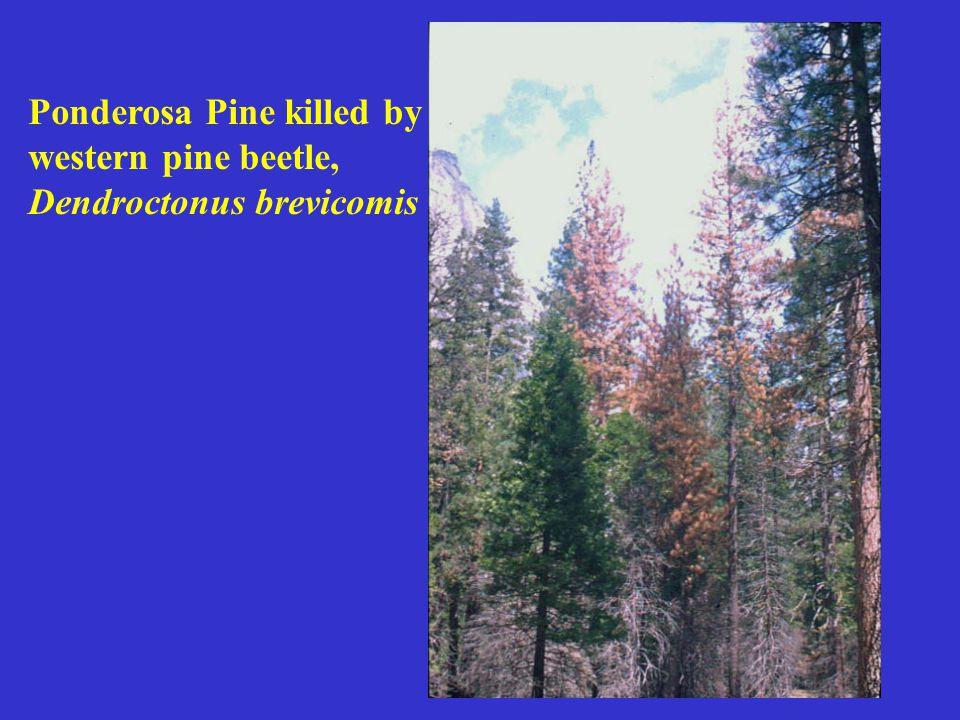 Ponderosa Pine killed by western pine beetle, Dendroctonus brevicomis