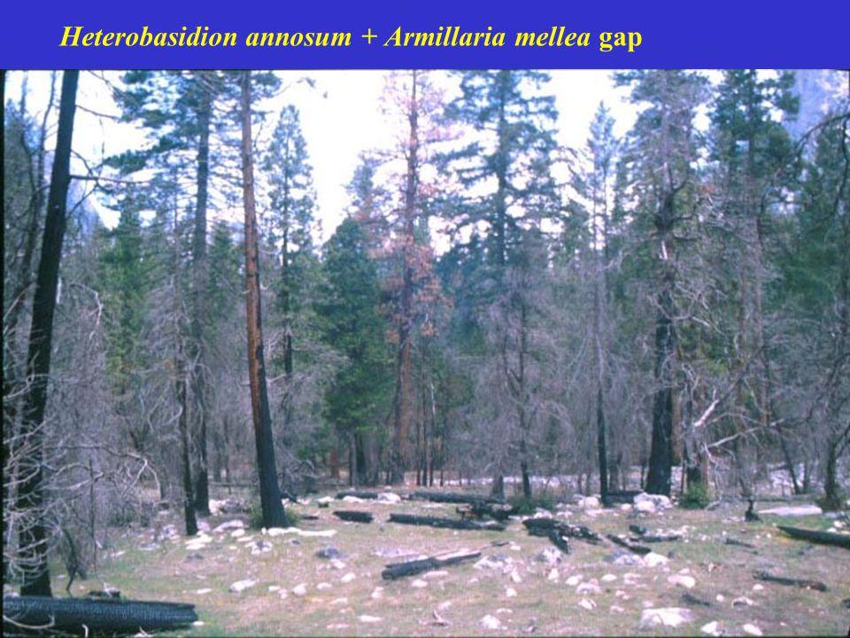 Heterobasidion annosum + Armillaria mellea gap
