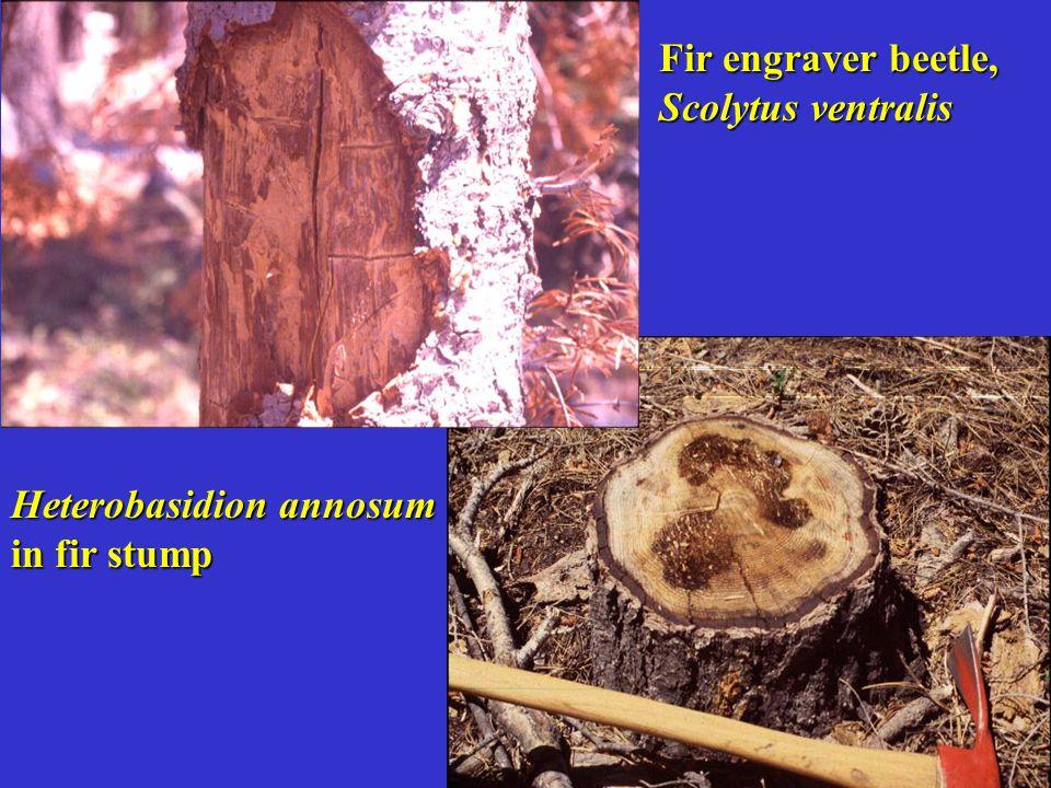 Fir engraver beetle, Scolytus ventralis Heterobasidion annosum in fir stump