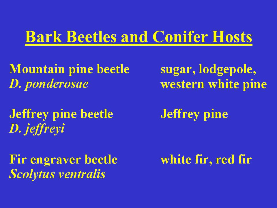 Bark Beetles and Conifer Hosts