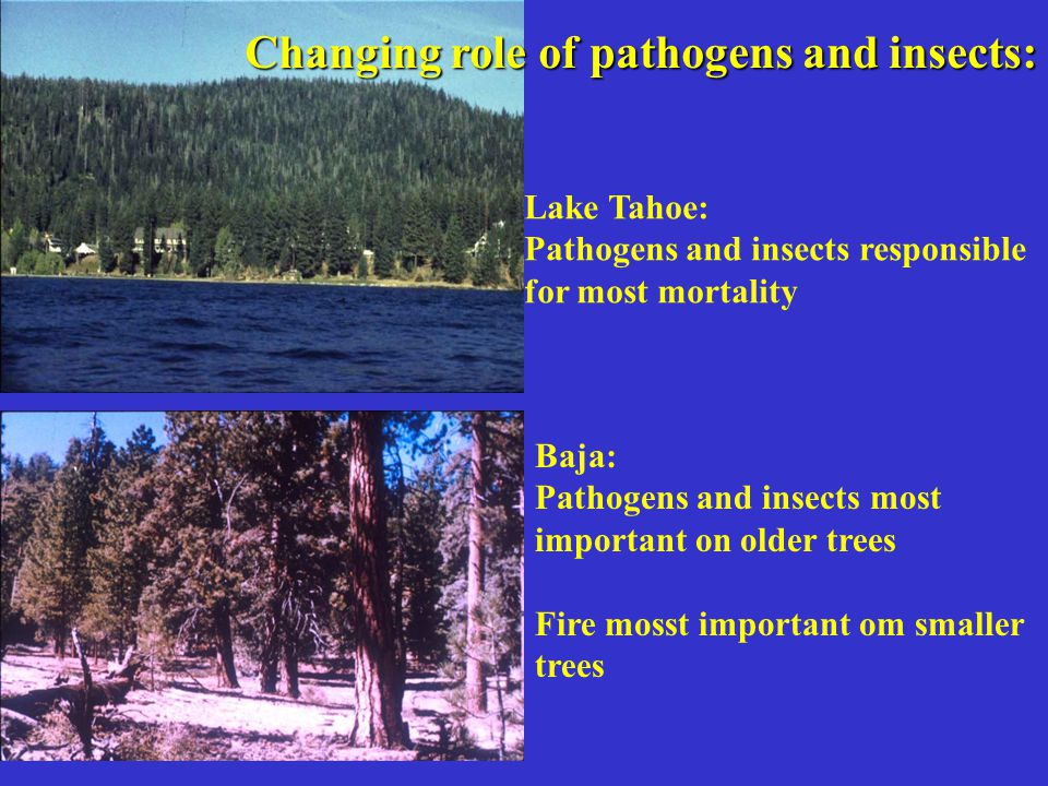 Changing role of pathogens and insects: Lake Tahoe: Pathogens and insects responsible for most mortality Baja: Pathogens and insects most important on older trees Fire mosst important om smaller trees