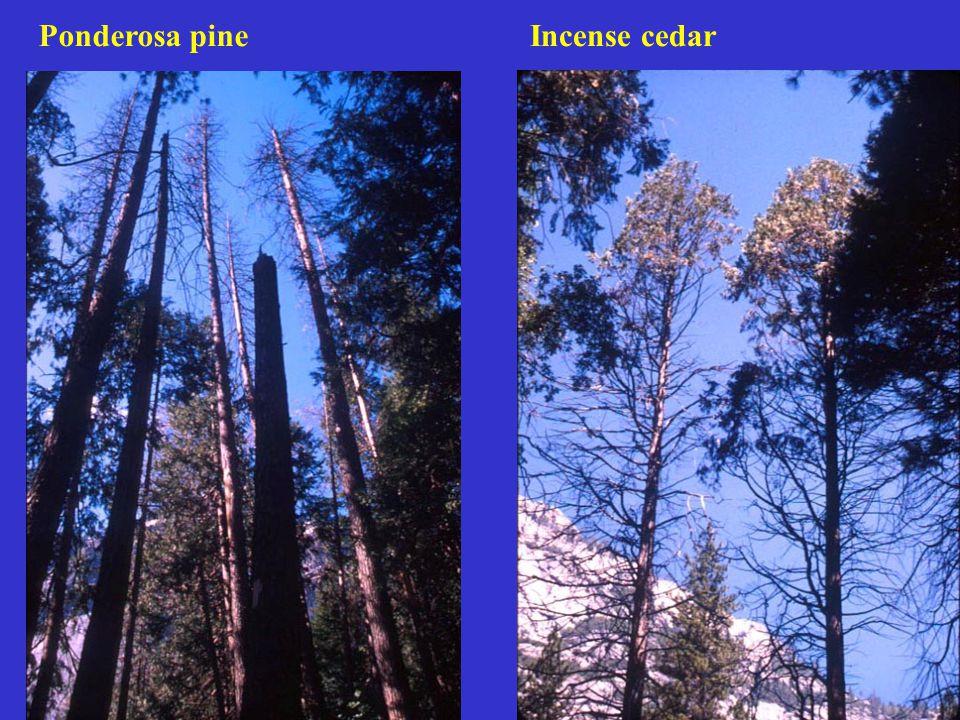 Stand Characteristics Lake Tahoe Seral Old growth Stems/ha  20 cm dbh 536 324 n=14 n=17