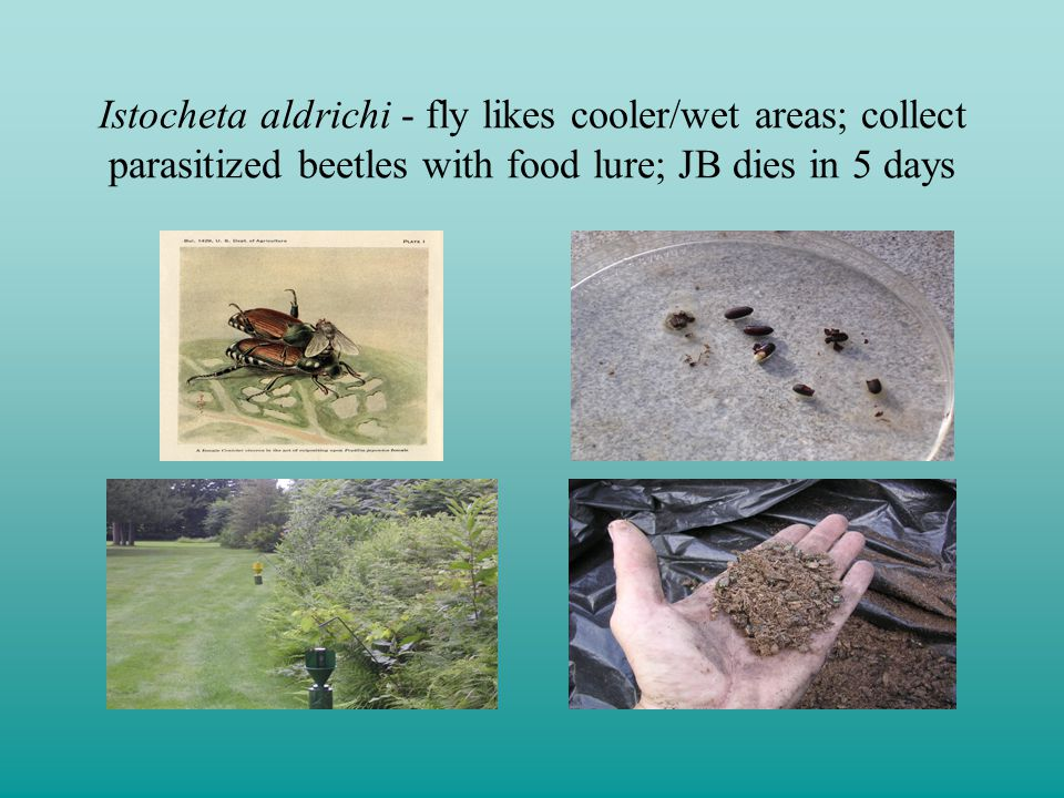 Istocheta aldrichi - fly likes cooler/wet areas; collect parasitized beetles with food lure; JB dies in 5 days