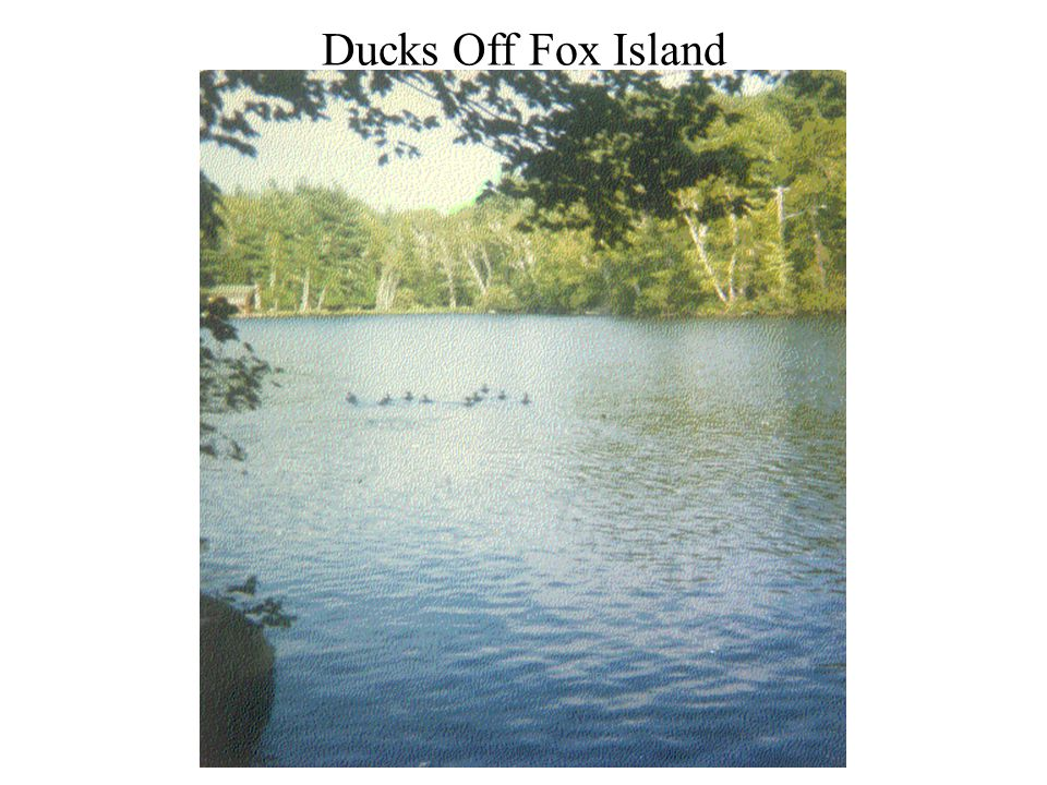 Ducks Off Fox Island