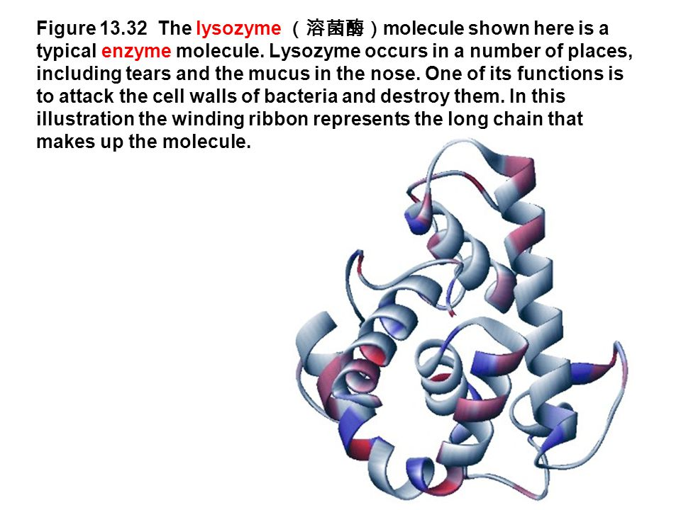 Figure 13.32 The lysozyme (溶菌酶) molecule shown here is a typical enzyme molecule. Lysozyme occurs in a number of places, including tears and the mucus