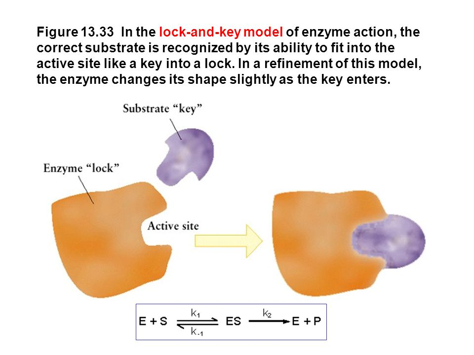 Figure 13.33 In the lock-and-key model of enzyme action, the correct substrate is recognized by its ability to fit into the active site like a key int