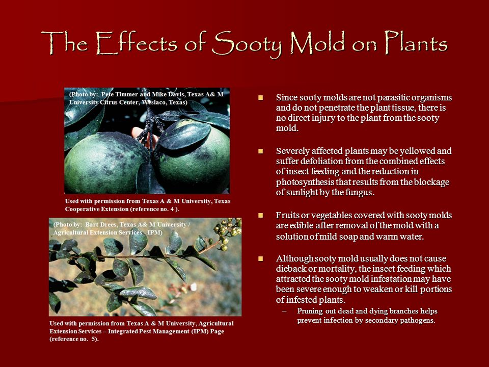 The Effects of Sooty Mold on Plants Since sooty molds are not parasitic organisms and do not penetrate the plant tissue, there is no direct injury to the plant from the sooty mold.