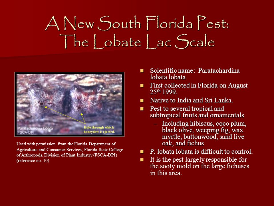 A New South Florida Pest: The Lobate Lac Scale Scientific name: Paratachardina lobata lobata Scientific name: Paratachardina lobata lobata First collected in Florida on August 25 th 1999.