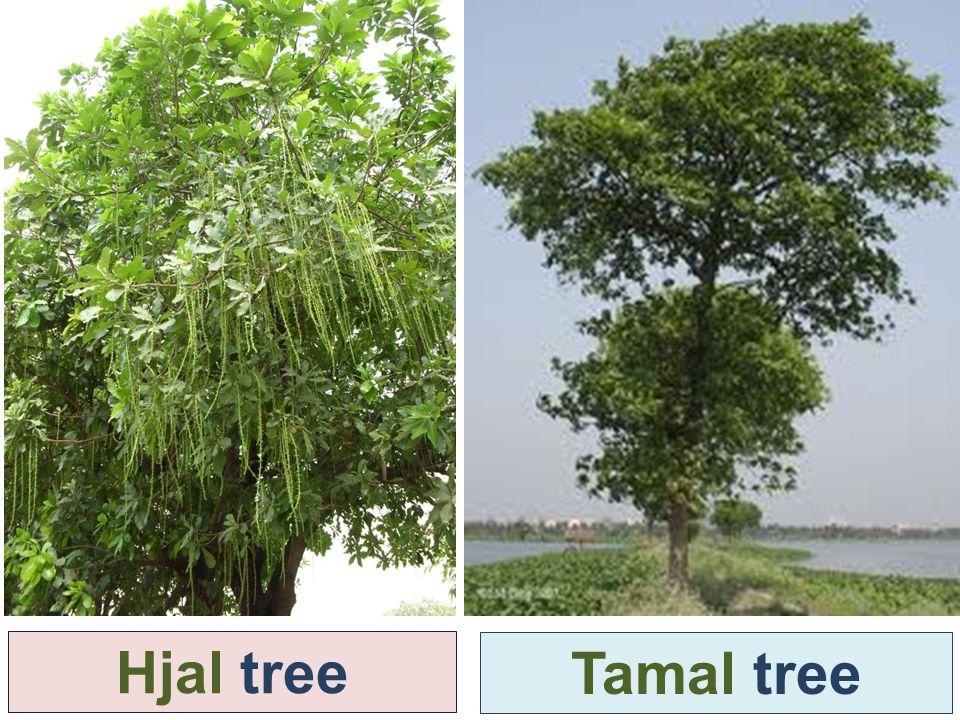 Hjal tree Tamal tree
