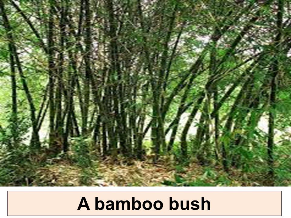 A bamboo bush