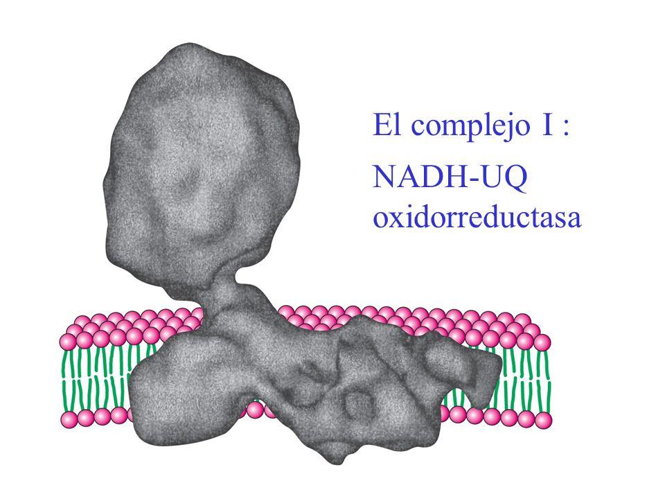 El complejo I : NADH-UQ oxidorreductasa