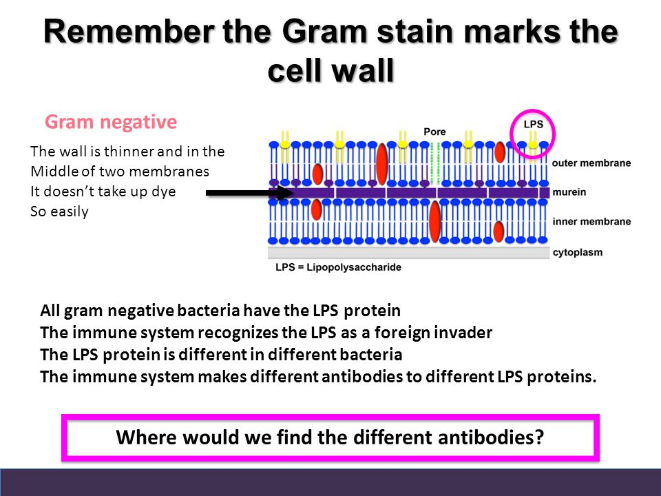 Remember the Gram stain marks the cell wall All gram negative bacteria have the LPS protein The immune system recognizes the LPS as a foreign invader The LPS protein is different in different bacteria The immune system makes different antibodies to different LPS proteins.