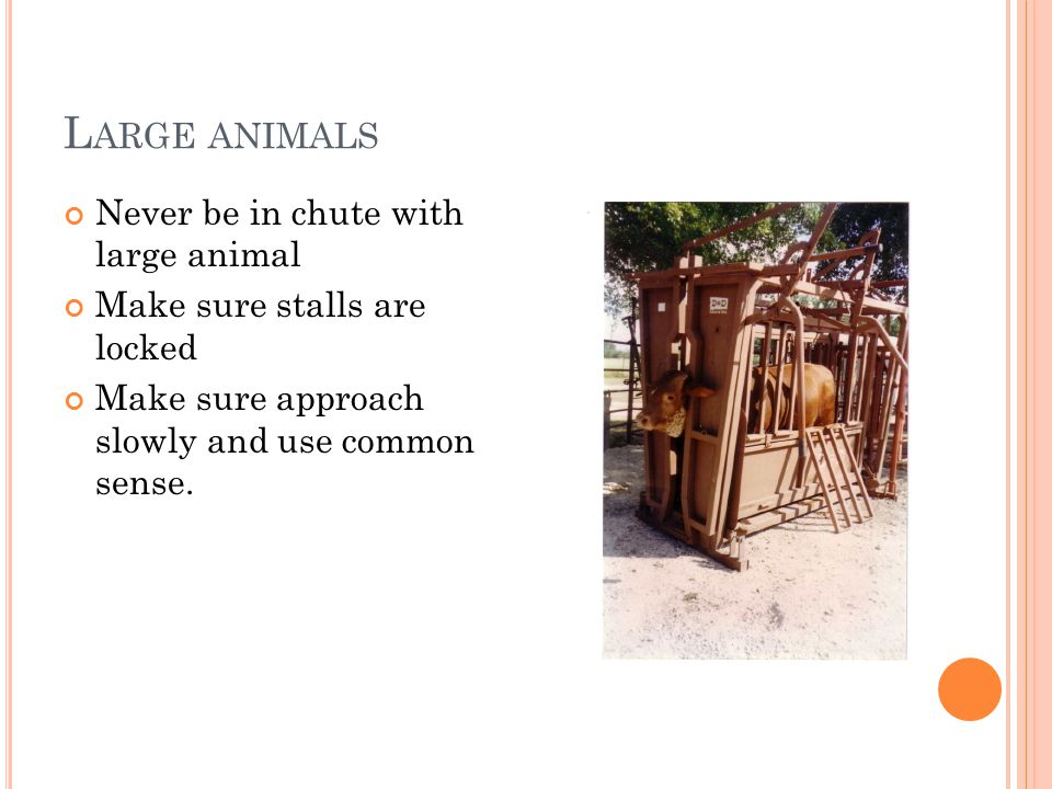 L ARGE ANIMALS Never be in chute with large animal Make sure stalls are locked Make sure approach slowly and use common sense.